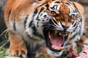 В Германии тигрице вставили золотой зуб