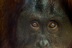 Вымершая гигантская обезьяна оказалась предком орангутана