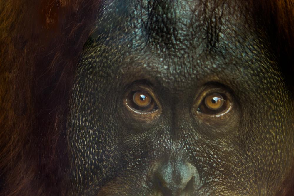 Вымершая гигантская обезьяна оказалась предком орангутана.Вокруг Света. Украина