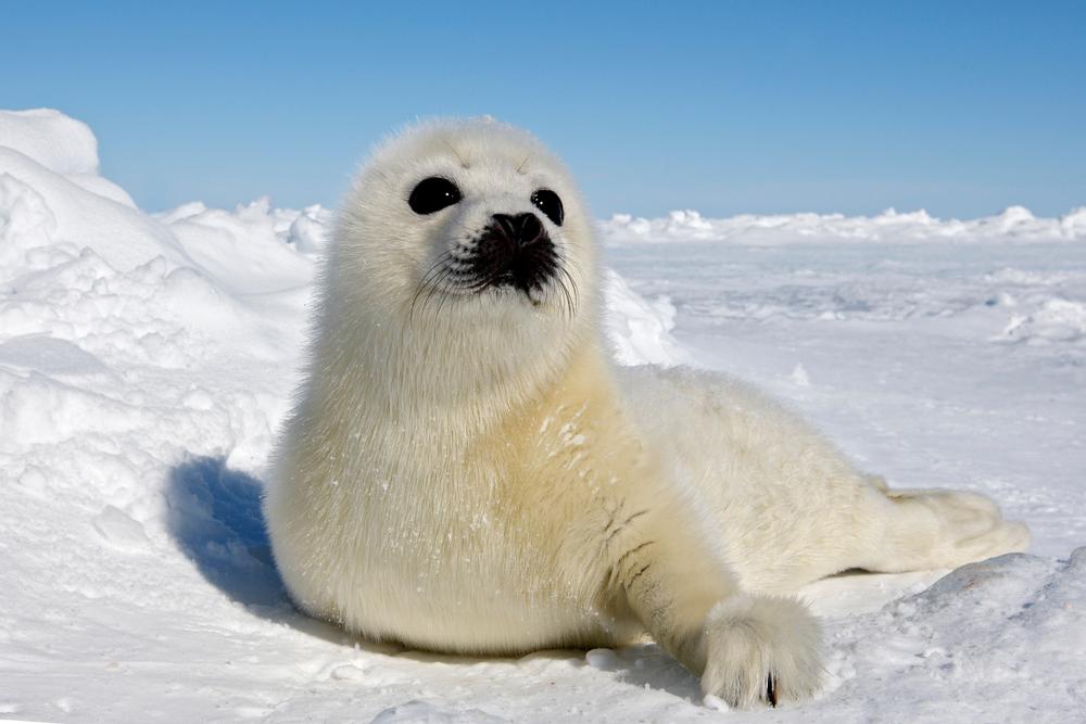 Вирус-убийца тюленей переместился из Атлантики в Тихий океан