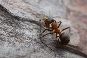 В заброшенном польском бункере обнаружили колонию муравьев-каннибалов