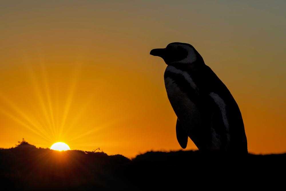В Новой Зеландии птицей года стал пингвин