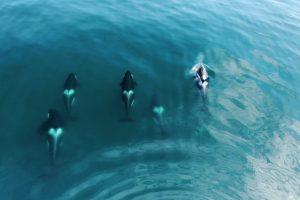 Косатки преследуют самого опасного хищника океана (видео)