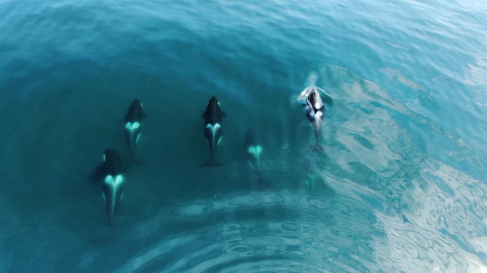 Косатки преследуют самого опасного хищника океана (видео).Вокруг Света. Украина