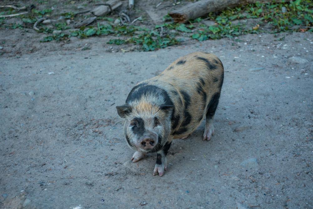 В Греции на журналиста в прямом эфире напала свинья