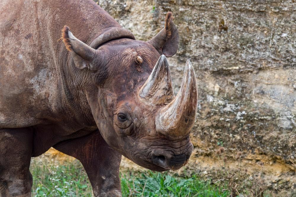Носорогов пытаются спасти с помощью фальшивых рогов.Вокруг Света. Украина