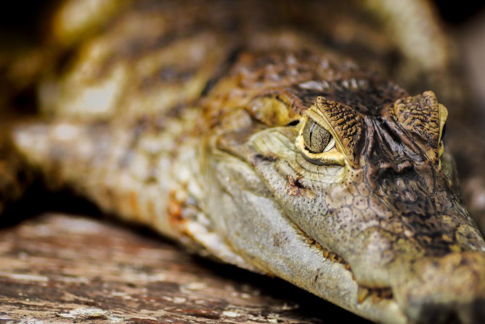 В Восточном Тиморе священные  крокодилы нападают  на людей