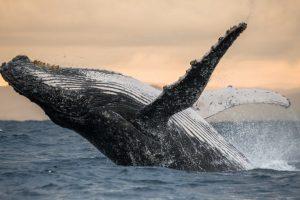 В Южной Атлантике восстановилась популяция горбатых китов