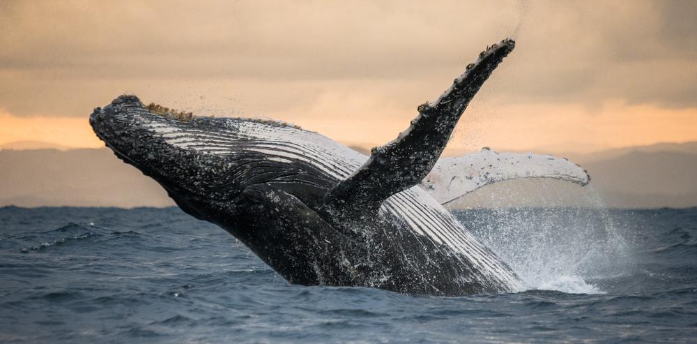 В Южной Атлантике восстановилась популяция горбатых китов.Вокруг Света. Украина