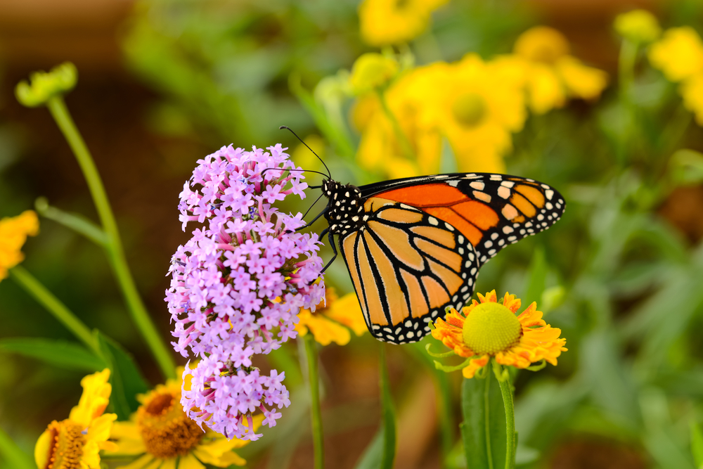 Энтомолог из США 47 лет считает бабочек: они умирают