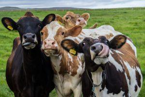 Унесенных цунами коров нашли живыми спустя два месяца