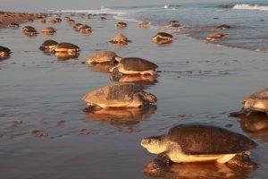 Морской биолог сняла огромнейшее скопление черепах (видео)