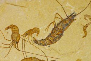 В Колумбии обнаружили окаменелости креветок, погибших 95 миллионов лет назад