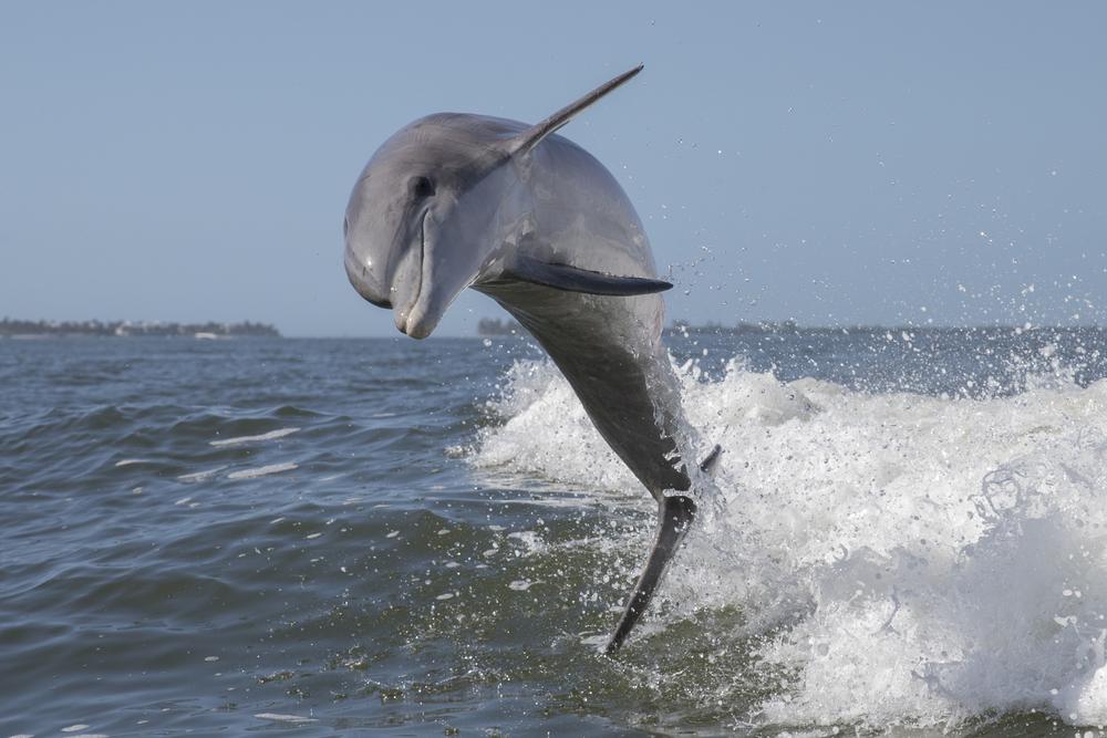 Большинство дельфинов - правши