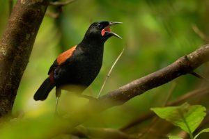 В Новой Зеландии выбирают птицу года