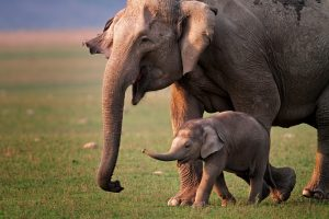 У азиатских слонов нашли признаки менопаузы