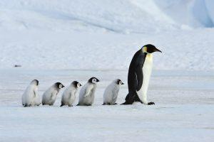Императорские пингвины могут вымереть к концу столетия