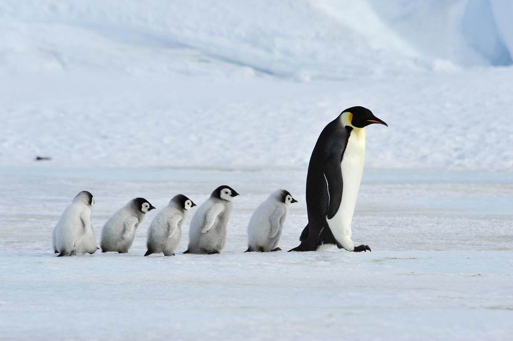 Императорские пингвины могут вымереть к концу столетия.Вокруг Света. Украина