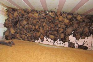 Во Львове на балконе нашли 1700 летучих мышей