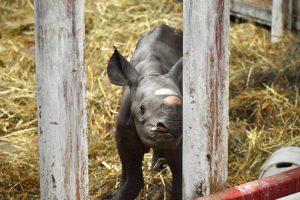 В США сняли на видео рождение исчезающего черного носорога