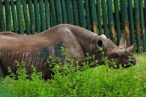 В Танзании умерла старейшая в мире самка носорога