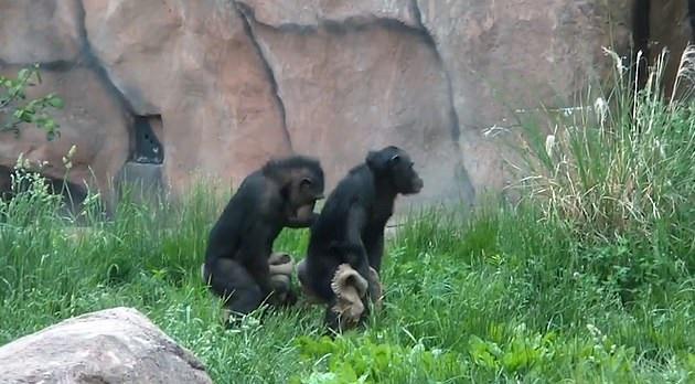 Шимпанзе помогли понять, как люди научились танцевать