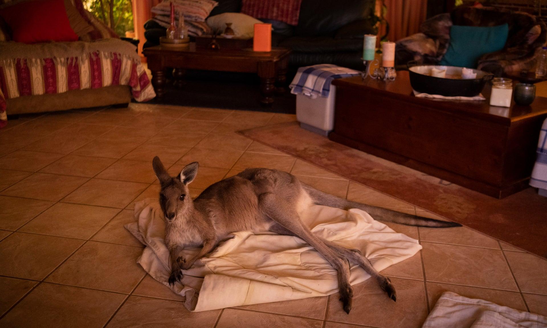 От коал до кенгуру: как спасают животных из австралийских пожаров