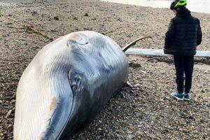 У лондонского моста выбросило на берег кита-полосатика