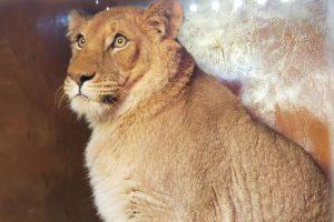 Украина отправила в Южную Африку пять львов