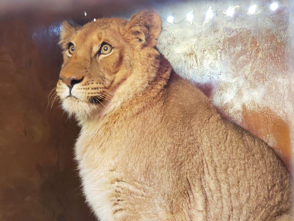 Украина отправила в Южную Африку пять львов.Вокруг Света. Украина