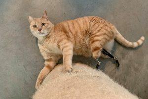 Кот на бионических протезах стал новой звездой интернета