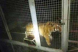 В Киеве нашли шестерых тигров, оставленных без присмотра