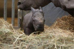 В Бельгии родился редчайший белый носорог
