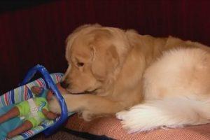 В США полицейский пес попался на воровстве игрушек