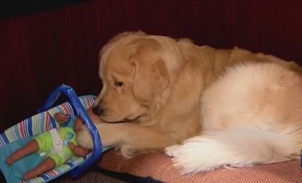 В США полицейский пес попался на воровстве игрушек.Вокруг Света. Украина