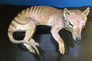 Черная книга Австралии: подсчитано количество вымерших видов