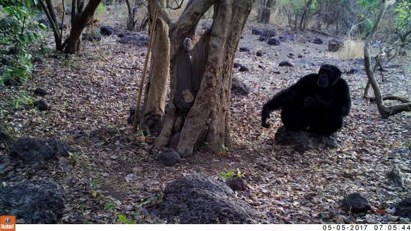 Новое исследование опровергает теорию о том, что у шимпанзе есть ритуалы