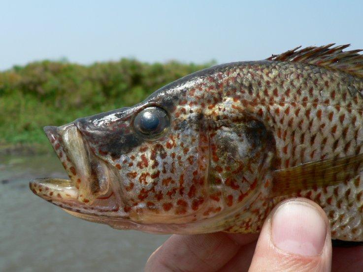 Африканская рыба скрещивается с другими видами, самостоятельно создавая гибриды
