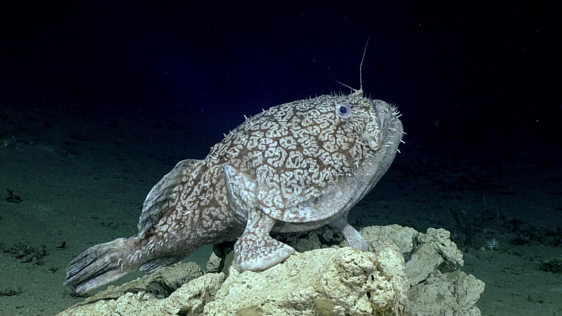 Ученые обнаружили рыбу, которая умеет ходить по дну