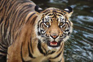 В Индонезии задержали убийц редкой суматранской тигрцы