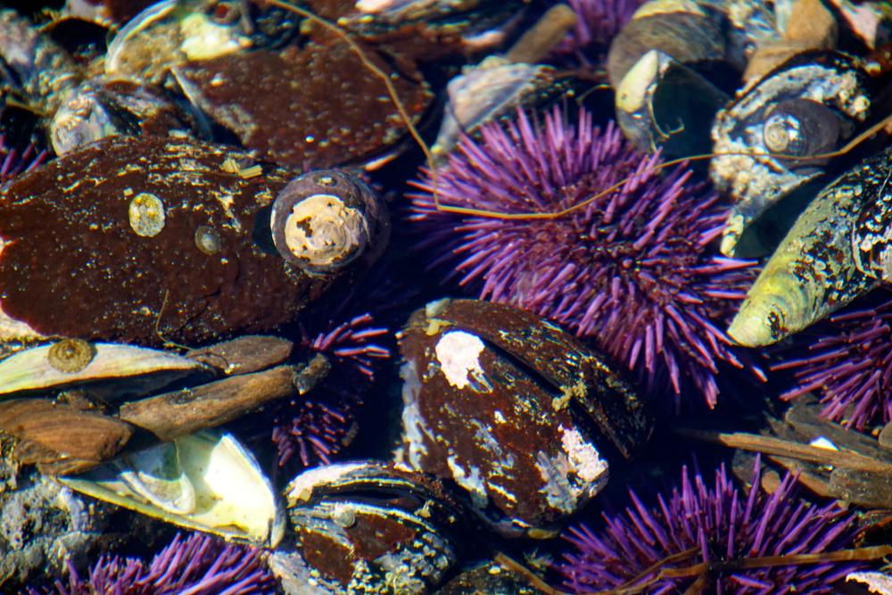 Пурпурные морские ежи уничтожили ламинарию Северной Калифорнии .Вокруг Света. Украина