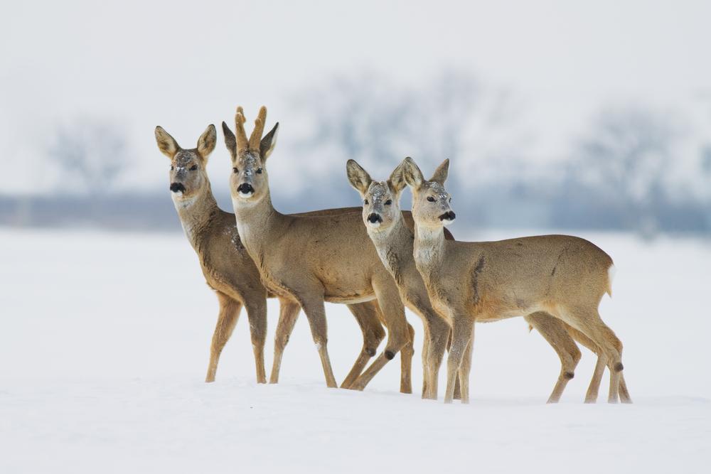 Канадец спас семью оленей, застрявшую на замерзшем озере