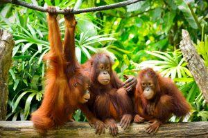 Орангутанги общаются на языке из 11 голосовых сигналов и 21 жеста