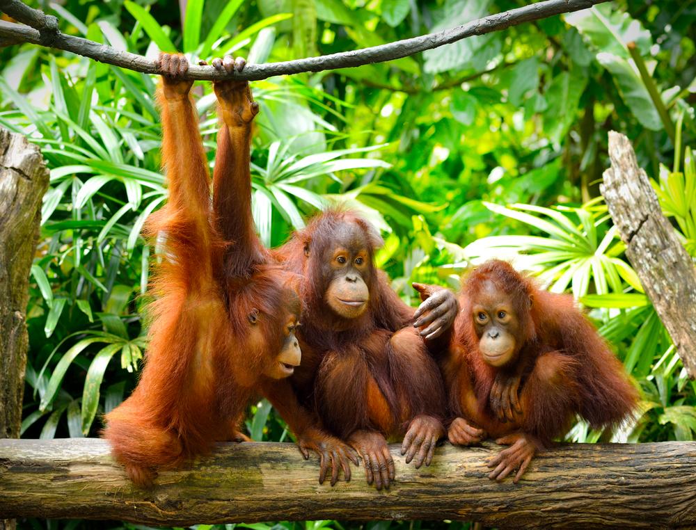 Орангутанги общаются на языке из 11 голосовых сигналов и 21 жеста.Вокруг Света. Украина