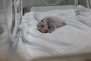 Детеныши панд рождаются недоношенными
