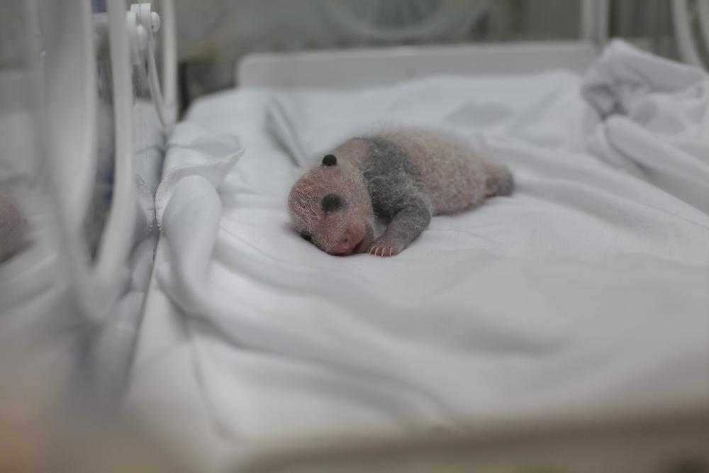 Детеныши панд рождаются недоношенными.Вокруг Света. Украина