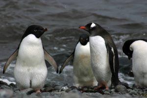 Среди пингвинов процветает разврат и насилие