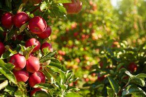 В США вывели сорт яблок, которые год хранятся в холодильнике