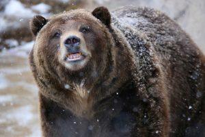 Канадские медведи гризли мигрируют на север Арктики