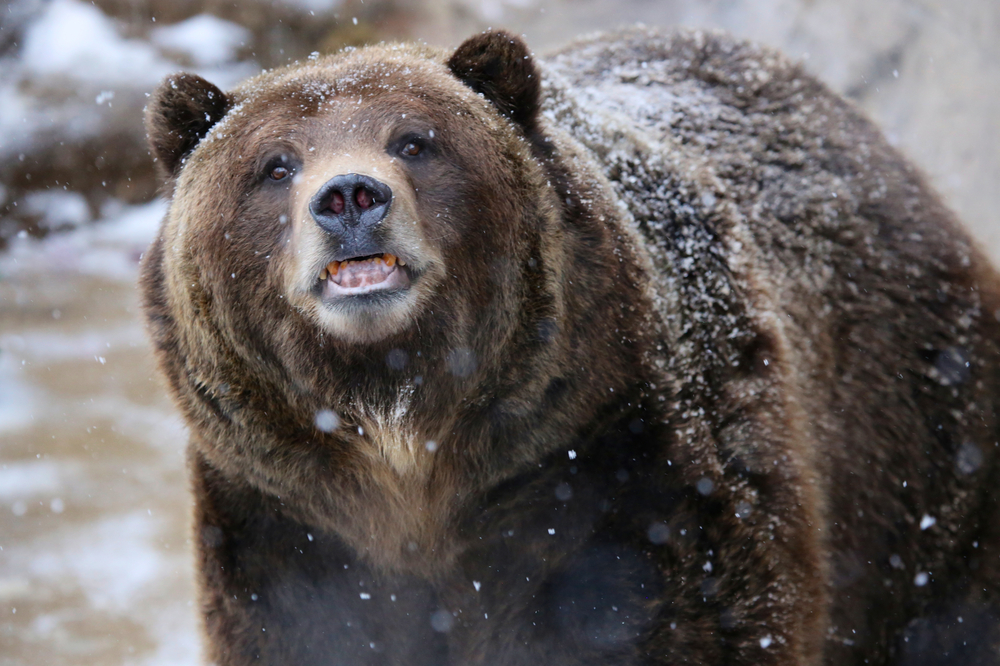 Канадские медведи гризли мигрируют на север Арктики.Вокруг Света. Украина